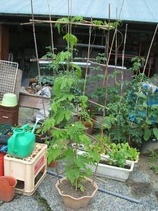 家庭菜園2013-07-14-002