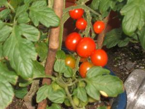 家庭菜園2013-07-14-012