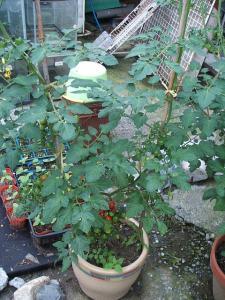 家庭菜園2013-07-14-009
