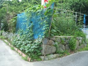 家庭菜園2013-07-14-017