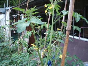 家庭菜園2013-07-14-013