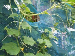 家庭菜園2013-07-14-021
