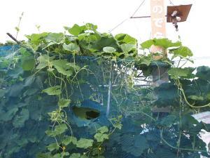 家庭菜園2013-07-14-020