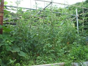家庭菜園2013-07-14-028
