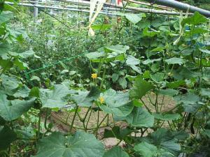 家庭菜園2013-07-14-035