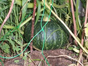 家庭菜園2013-07-14-052