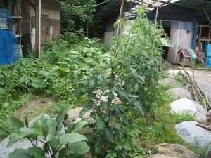 家庭菜園2013-07-14-040