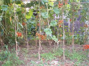 家庭菜園2013-08-07-002