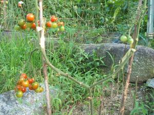 家庭菜園2013-08-07-019