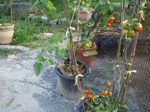 家庭菜園2013-08-07-020