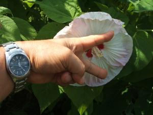 ふれあい花壇2013-08-27-058