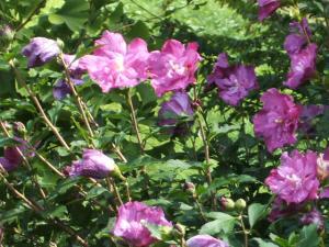 ふれあい花壇2013-08-27-054