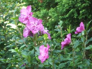 ふれあい花壇2013-08-27-053
