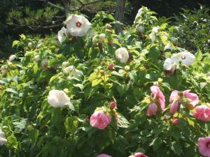ふれあい花壇2013-08-27-052