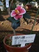 三陸・大船渡第17回つばきまつり2014-01-26-263