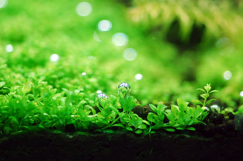 キューバパールの草原