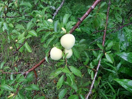 2013.6.16梅雨の果樹園(ハウス横) 094 (4)