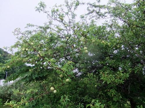 2013.6.16梅雨の果樹園(ハウス横) 094 (2)