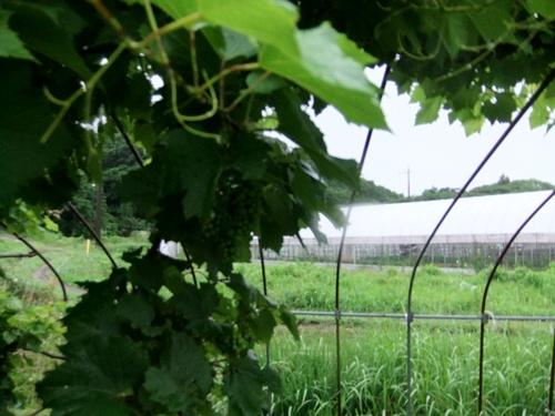 2013.6.16梅雨の果樹園(ハウス横) 094 (16)