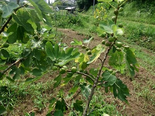 2013.7.15 夏の果樹園(ブルーベリーほか) 022
