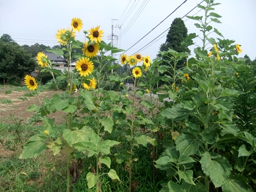 2013.7.15 夏の果樹園(ブルーベリーほか) 027
