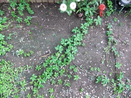 2013.8.28 庭の花たち 031 (4)