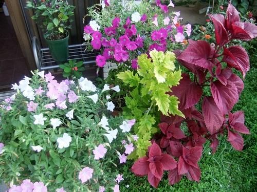 2013.8.28 庭の花たち 031 (2)