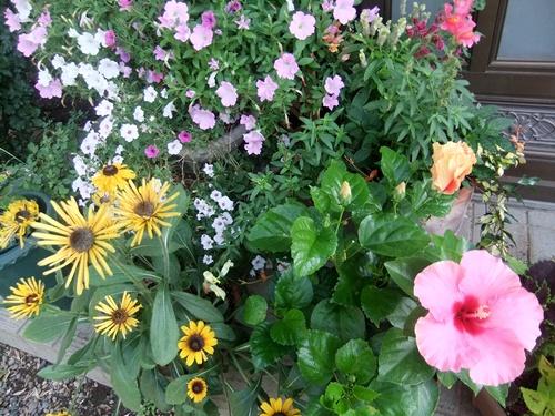 2013.8.28 庭の花たち 031 (1)