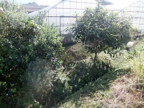 2013.9.28 果樹園の草刈(育苗ハウス横) 005