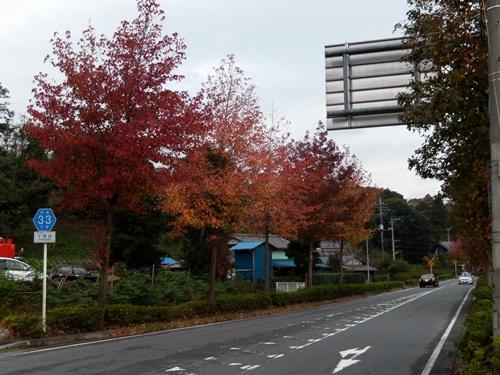 2013.11.4 並木の紅葉(台湾楓) 018 (1)