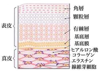 皮膚構造1