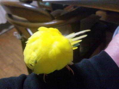 羽根つくろい!