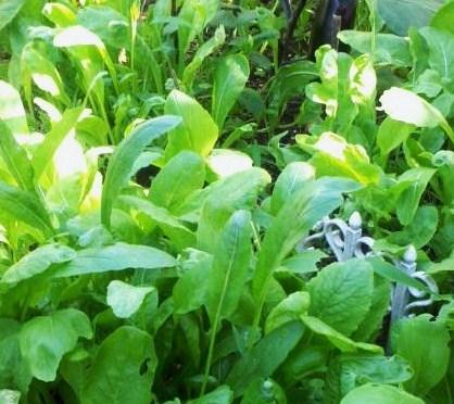 小松菜と壬生菜