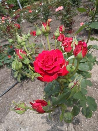 赤大きいバラ