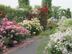 白とピンクのバラの海