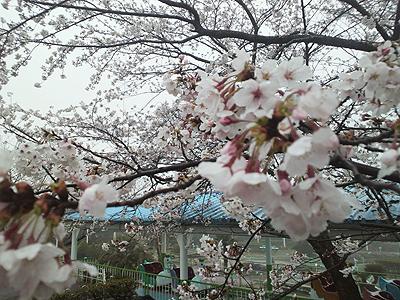 遊園地内の桜