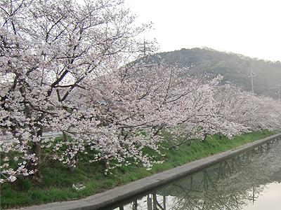 千年橋の桜