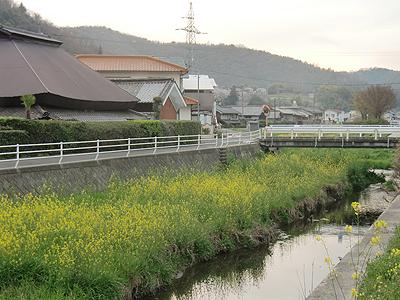山南川中流に自生する菜の花