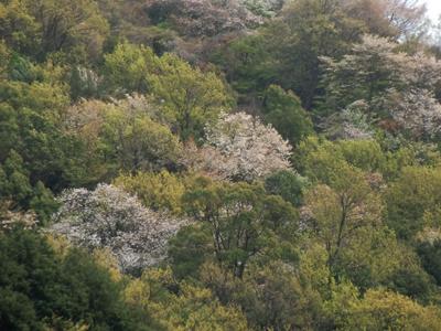 山桜が咲くパステルカラーな山