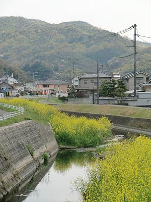 山南川に咲く菜の花