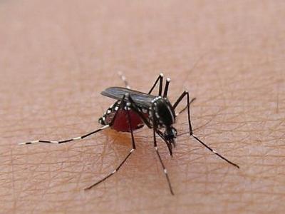 血を吸い過ぎて腹が赤くなった蚊