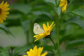 モンシロチョウ蝶が飛び交う 白川郷 合掌小屋 ②