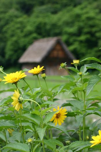 モンシロチョウ蝶が飛び交う 白川郷 合掌小屋 ④