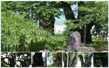 夏の荘川桜2