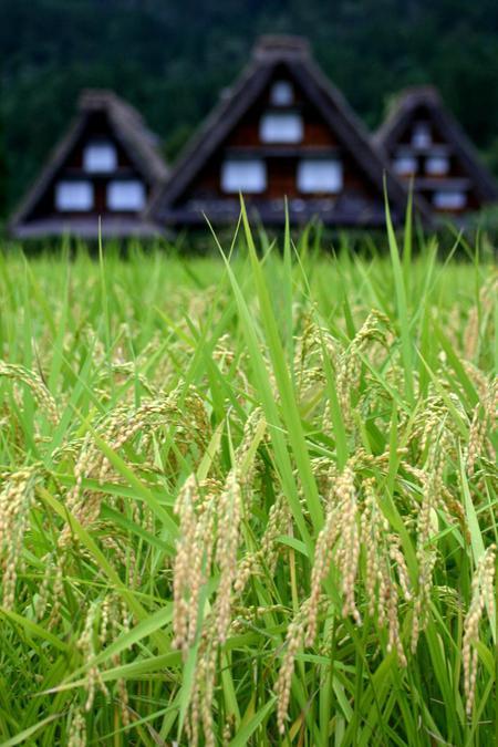 白川郷では9月終わりから10月にかけて各地区ごとの神社でどぶろく祭が行われます~①
