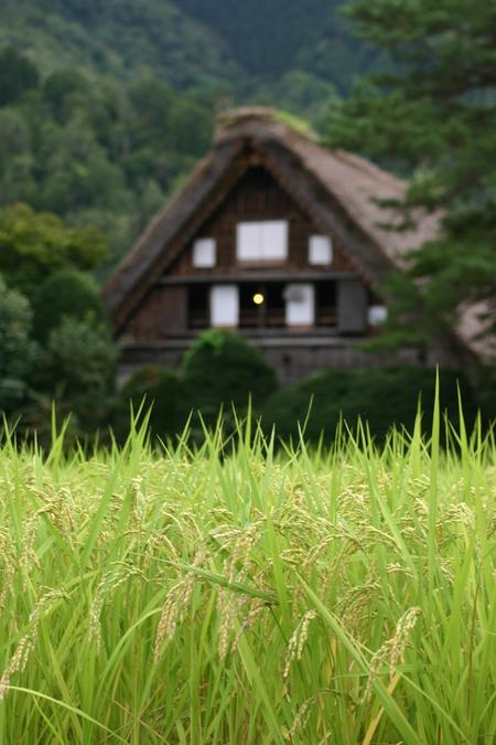 白川郷では9月終わりから10月にかけて各地区ごとの神社でどぶろく祭が行われます~⑥