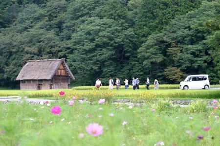 黄金色に染まった稲穂や、風に揺れるススキ など、風情ある日本の秋~世界遺産 白川郷~散策 ①
