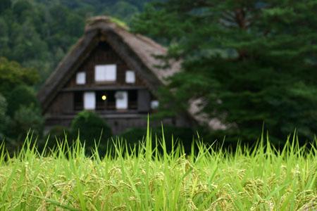 黄金色に染まった稲穂や、風に揺れるススキ など、風情ある日本の秋~世界遺産 白川郷~散策 ②