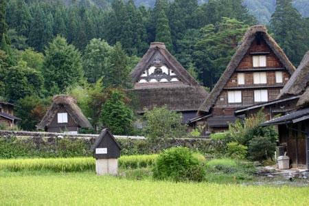 黄金色に染まった稲穂や、風に揺れるススキ など、風情ある日本の秋~世界遺産 白川郷~散策 ⑧