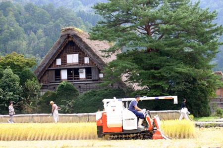 白川郷~秋の収穫~稲刈り風景(和田家合掌造り) ④